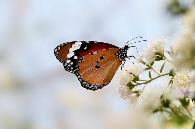 蜜を吸う蝶々